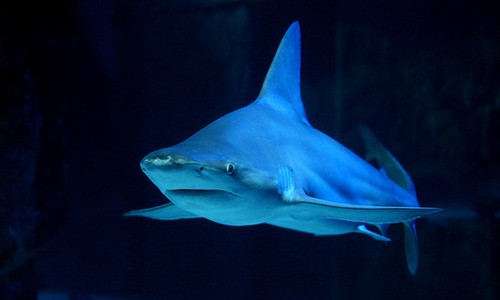 The sandbar shark has a brownish or gray body, a rounded snout and a tall, triangular dorsal fin. (Max Sang/Flickr)