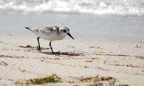 Sanderlings are brownish-gray in spring. Their plumage lightens to grayish-white in winter. (Alicia Pimental)