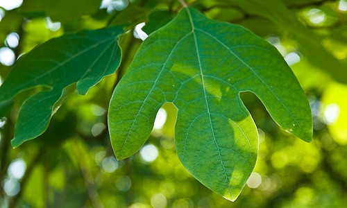 Sassafras have bright green, mitten-like leaves with 2-3 lobes. (ZeNeeceC/Flickr)