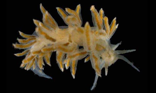 The striped nudibranch has irregular stripes and long growths on the back. (The Southeastern Regional Taxonomic Center, South Carolina Department of Natural Resources)