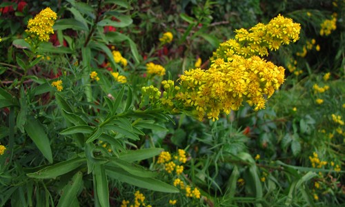 Seaside goldenrod has large, golden yellow flower clusters that bloom in late summer and autumn. (Katja Schulz/Flickr)