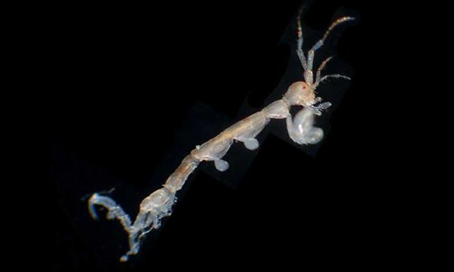 Skeleton shrimp are usually transparent, but may vary in color from tan to brown to reddish. (The Southeastern Regional Taxonomic Center, South Carolina Department of Natural Resources)