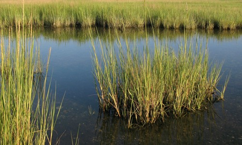 Smooth cordgrass forms dense colonies that usually run parallel to the shoreline. (Sandy Richard/Flickr)