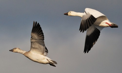 Snow geese can be identified in flight by their white body and dark wingtips. (hjhipster/Flickr)