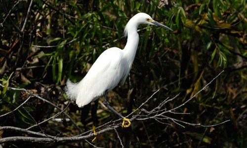 The snowy egret visits the Chesapeake Bay's marshes, wetlands and shallow waters from spring through autumn. (Hans Stieglitz/Wikimedia Commons)