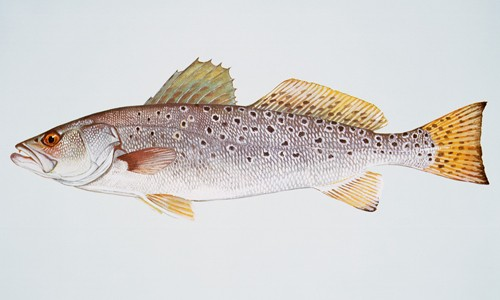 The spotted seatrout is a sleek, silvery fish with black, round spots scattered across the back. (Duane Raver/U.S. Fish & Wildlife Service)