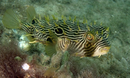 The striped burrfish has a round body and a parrot-like beak.