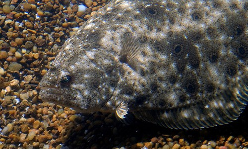 Picture of Summer Flounder