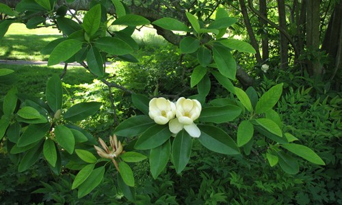 Picture of Sweetbay Magnolia