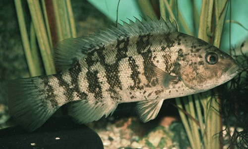 Tautogs vary in color from brown to grayish or black with irregular bars or blotches on the sides. (Virginia Institute of Marine Science)
