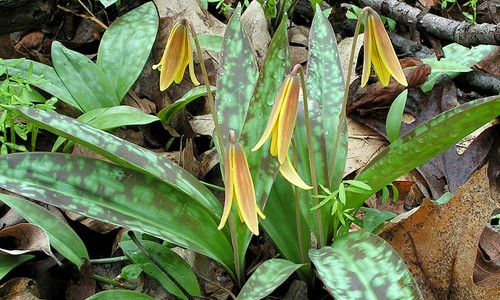 Trout lily flowers are yellow on the inside and bronze-colored on the outside. (jclucier/Flickr)