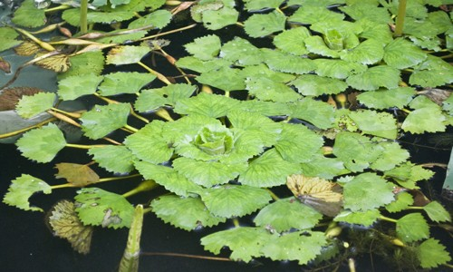 Water chestnut has triangular or diamond-shaped leaves that form rosettes that float on the water's surface.