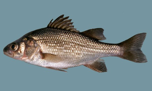 White perch is a small, silvery fish with a dark, highly domed back. (Harvard University Museum of Comparative Zoology)