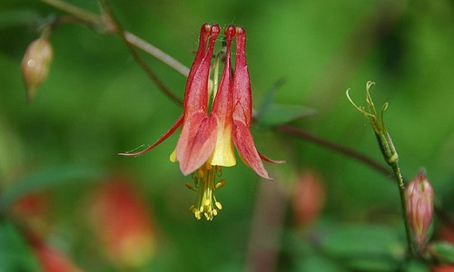 Wild columbine is a native perennial plant with nodding, bell-shaped, red and yellow flowers that bloom in spring and early summer. (Flatbush Gardener/Flickr)