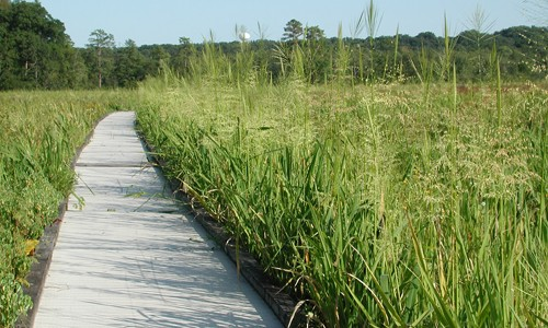Wild rice forms colonies in tidal and non-tidal freshwater marshes. (Virginia Native Plant Society Pocahontas Chapter)