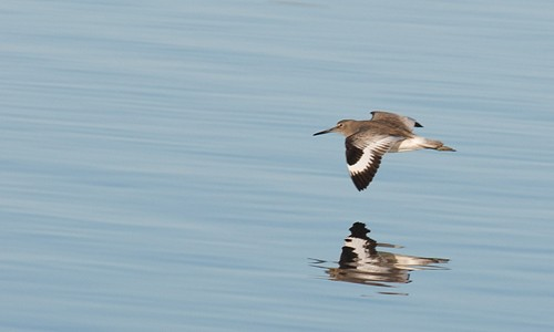 Willets can be identified in flight by their prominent, distinctive white wing stripe. (Jerry Kirkhart/Flickr)