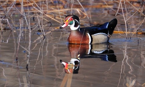 Males wood ducks have a distinctive head patterned with white stripes and iridescent green and purple patches.