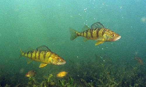 Yellow perch have two separate dorsal fins: one spiny and one smooth. (Caranx latus/Flickr)