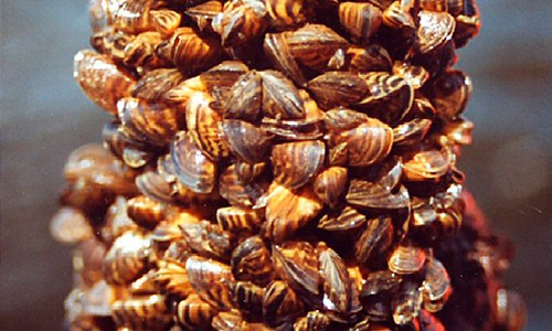 Young zebra mussels often settle on top of older, bigger mussels, creating large colonies. (Dan Minchin/Public Library of Science)