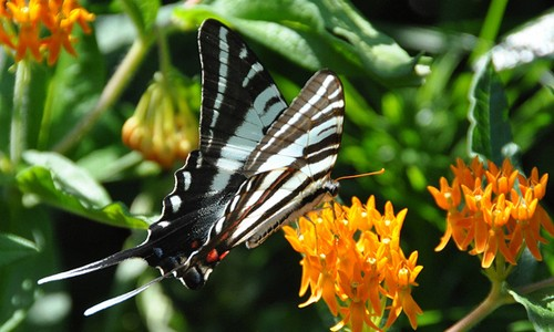 Adult zebra swallowtails feed on nectar from flowers such as redbud, milkweed and verbena. (Dave Govoni/Flickr)
