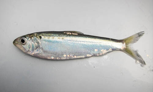 Picture of American Shad