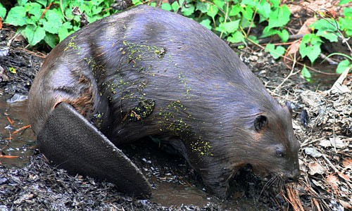 Picture of Beaver