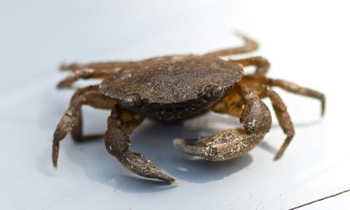 Black-fingered mud crabs use their strong claws to crack the shells of clams, crustaceans and marsh periwinkles. (E. Guy Stephens/Flickr)