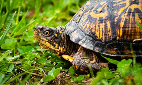 Eastern Box Turtle | Chesapeake Bay Program
