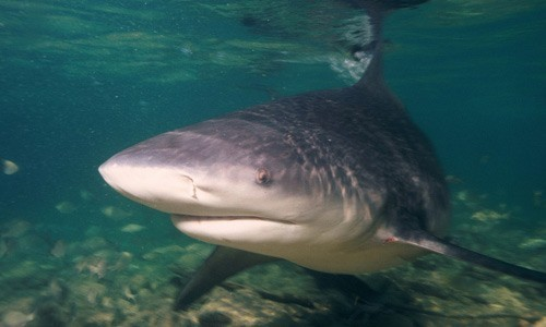 Bull sharks are known for their ability to thrive in both fresh and saltwater. (albert kok/Flickr)