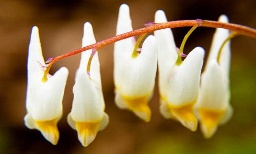 Picture of Dutchman's Breeches
