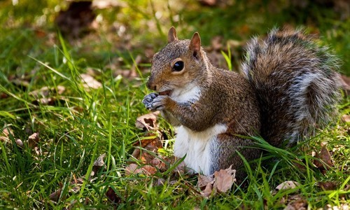 Gray squirrels feed mostly on nuts and acorns from oak, beech, walnut and hickory trees. (Smudge 9000/Flickr)