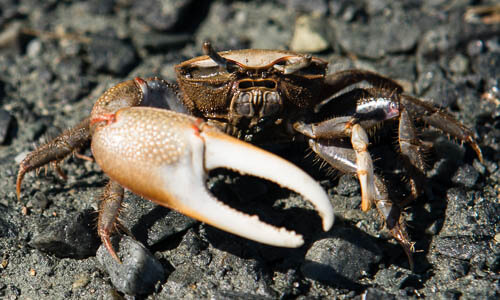 Picture of Fiddler Crabs