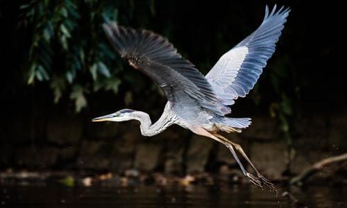 Picture of Great Blue Heron