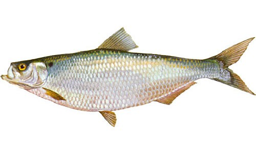 The hickory shad is a river herring with a thin, grayish-green body and several spots on the shoulder. (Ellen Edmonson and Hugh Chrisp, New York State Department of Environmental Conservation)