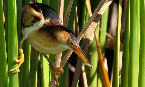 Least Bittern - Chesapeake Bay Program