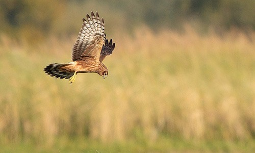 Northern harriers are medium-sized raptors with long, broad wings and a rounded tail. (Radovan Vaclav/Flickr)