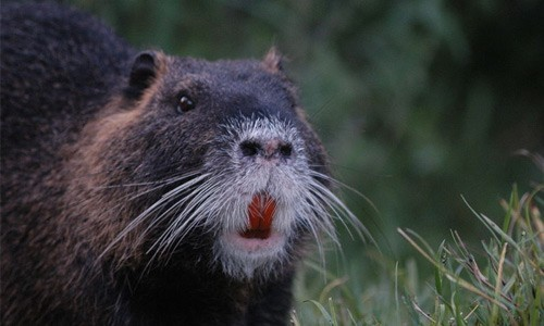 Nutria can be distinguished by their large, bright orange front teeth. (Peleg/Wikimedia Commons)