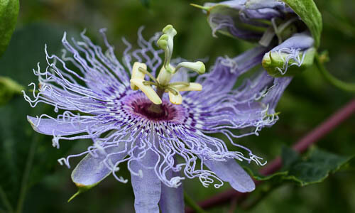 Picture of Passionflower