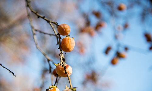 Picture of American Persimmon