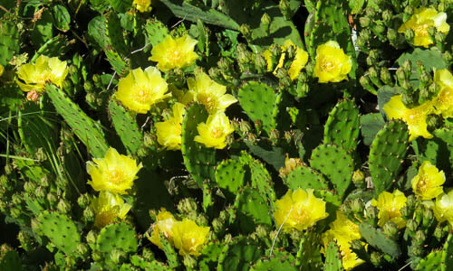 Picture of Prickly Pear