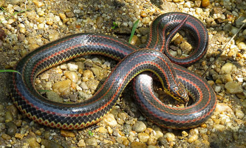 Picture of Rainbow Snake