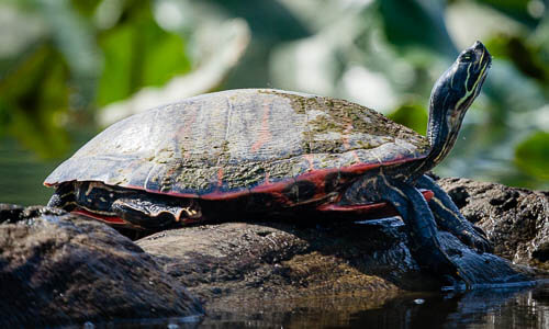 Red Bellied Cooter Chesapeake Bay Program