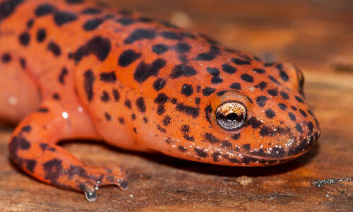 Picture of Northern Red Salamander