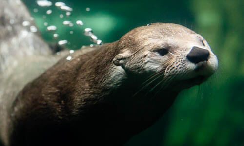 Picture of River Otter