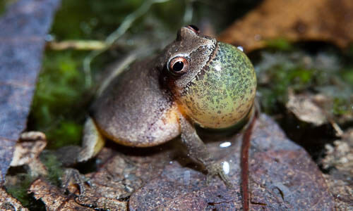Picture of Northern Spring Peeper