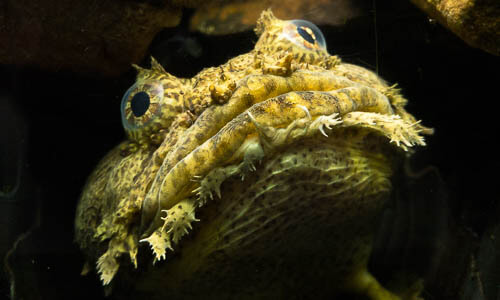 Picture of Oyster Toadfish