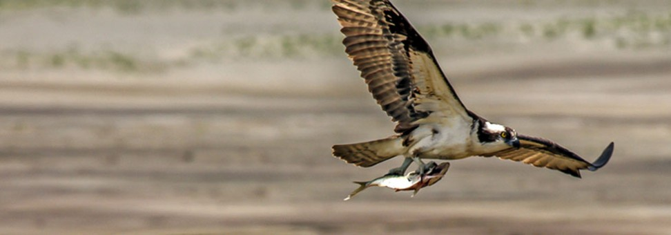 Bay 101: Ospreys in the Watershed