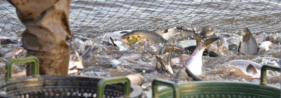 Tracking the Abundance of American Shad