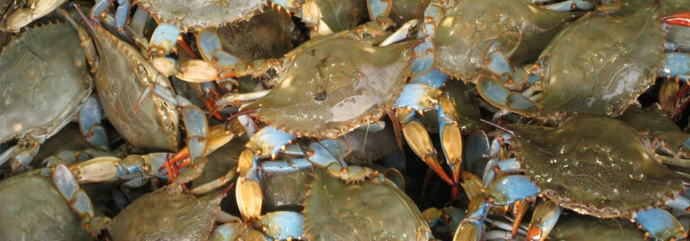 Why Are Blue Crabs Important to the Bay?