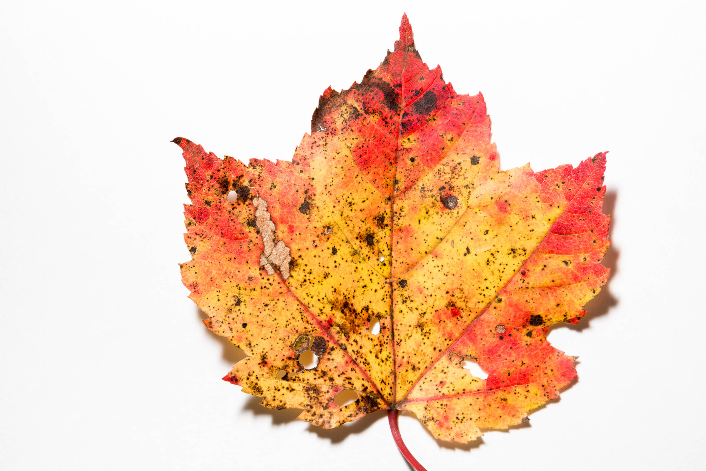 Picture of Cellular-level changes lead to autumn spectacle